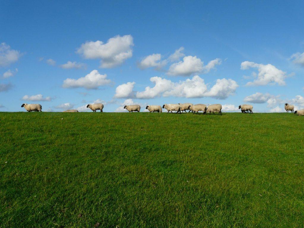 Ovejas pastando en un prado